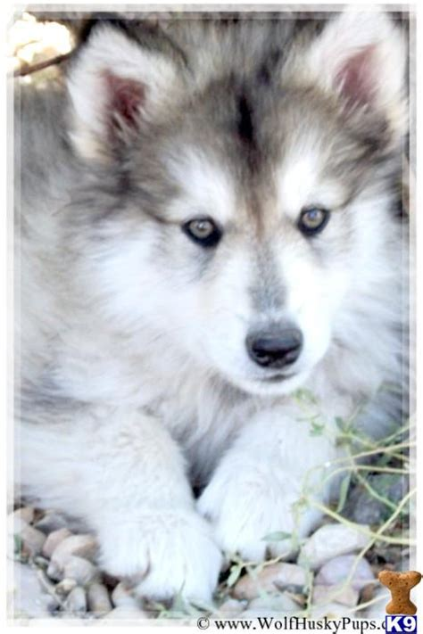 wolf husky puppies hybrid wolf husky puppies