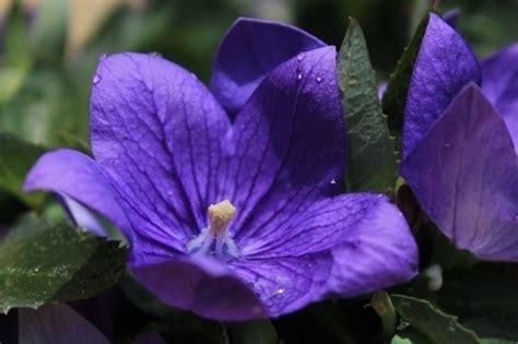 fiore perenne canula perenne piante perenni caratteristiche della