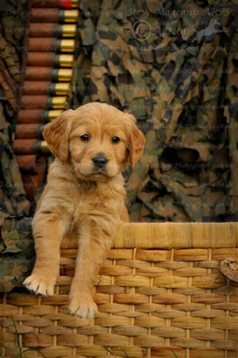 working golden retriever breeders working dogs in photography gaytonwood golden