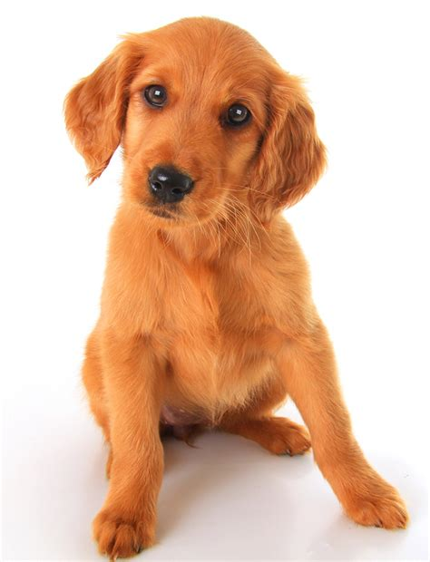 golden retriever breeders in ireland find golden retriever puppies for sale ireland photo
