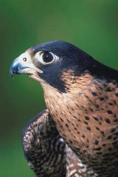 type of hawks in tn tennessee endangered species animals me