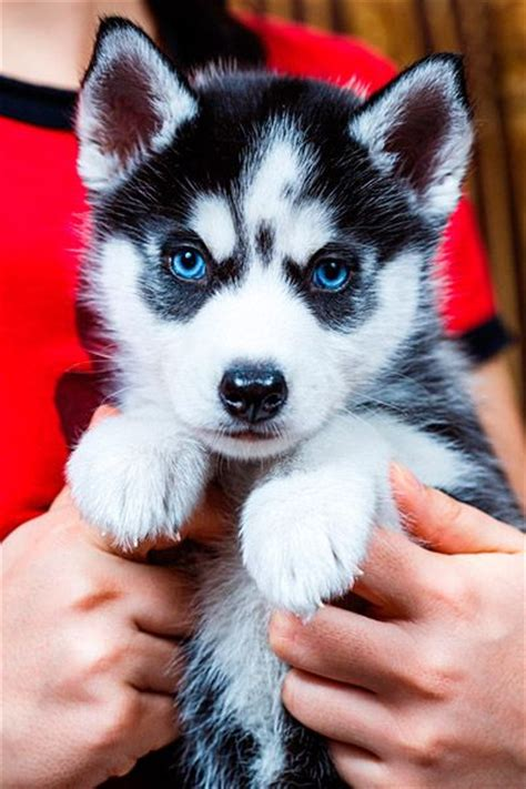 miniature pomeranian husky puppies for sale best 25 husky puppies for sale ideas on huskies for sale pomeranian