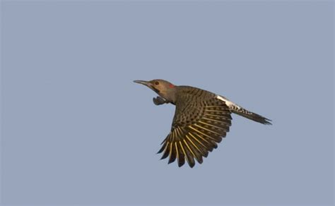bill hubick photography northern flicker colaptes