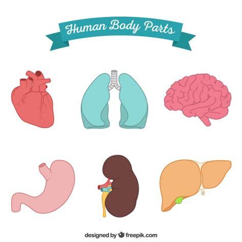 imagenes y nombres de las partes del cuerpo cuerpo humano organos fotos y vectores gratis