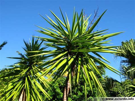 Plante Verte Yucca by Yucca Pied D 233 L 233 Phant Yucca Elephantides Conseils De