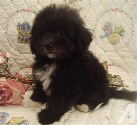 shih poo puppies for sale in missouri shih poo puppy sophie4 for sale in birch tree