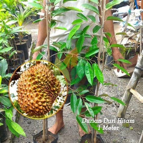 Tanaman Buah Durian Sitokong 60cm Limited jual bibit durian duri hitam unggul 1 meter agro bibit id