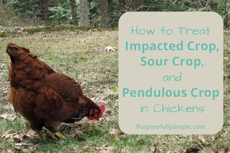 Backyard Chickens Sour Crop How To Treat Impacted Crop Sour Crop And Pendulous Crop