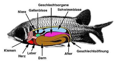 die inneren organe fischfinder artikel der fisch