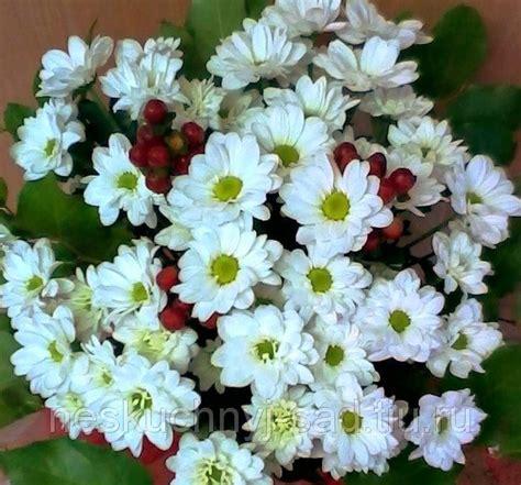 Виды кустовых хризантем с фото