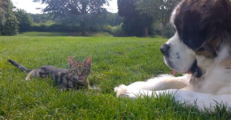 st bernard meets  kitten adorableness ensues twistedsifter