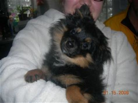 pomeranian puppies for sale pittsburgh pa pomeranian puppies for sale