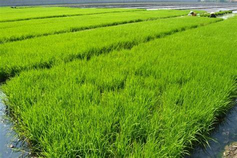 Bibit Padi padi ramah lingkungan jadi terobosan paling penting tahun