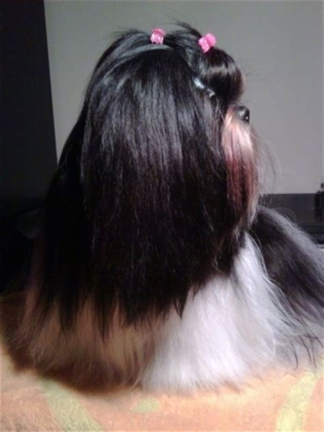 how long does it take for a shih tzu to grow back her hair shih tzu dog breed information and pictures