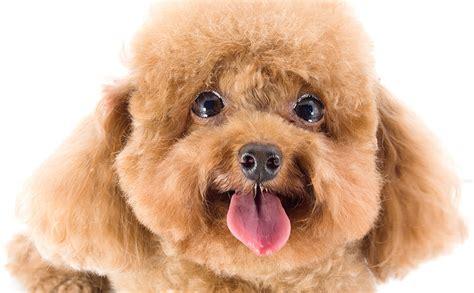 cani da appartamento adatti ai bambini cani nani migliori cani adatti ai bambini elenco delle 19