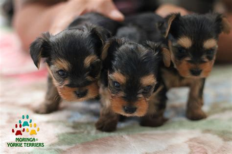 yorkie puppies california yorkie puppies for sale teacup dogs moringa for dogs colorful yorkies merle