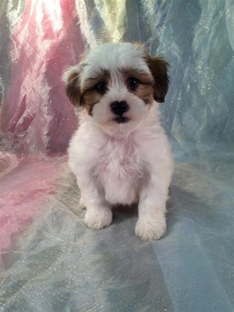 shih tzu bichon puppies for sale in michigan iowa s top breeder has teddy puppies for sale