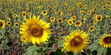 flores imagenes que se mueven descubren por qu 233 las plantas se mueven hacia el sol