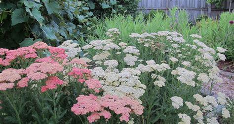 Garden Yarrow Yarrow Auntie Dogma S Garden Spot