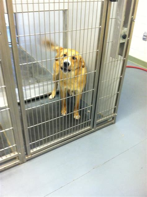 golden retriever animal shelter adoptable dogs for may 3 2013 politics caigns and elections