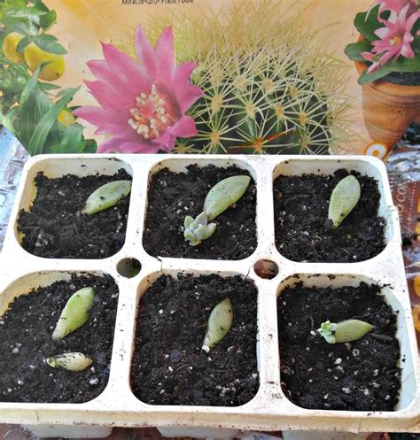 How To Propagate Succulents From Cuttings And Offsets - propagating succulent leaves tips for propagating succulents