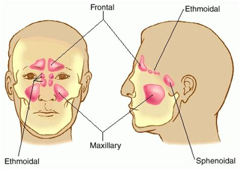 Image result for free pics of sinuses