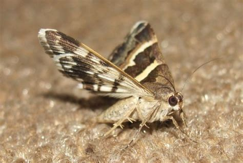 home remedies to get rid of moth flies