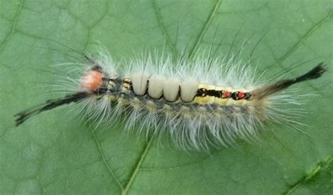 are tussock moth caterpillars poisonous bing images