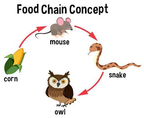 cadenas alimenticias concepto diagrama del concepto de cadena alimentaria descargar