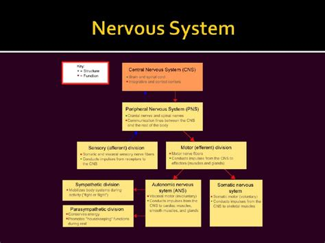 powerpoint templates nervous system powerpoint template nervous system choice image