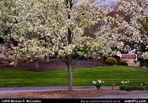 cherry tree pa cherry tree picture 011 april 15 2010 from cranberry township pennsylvania mdmpix