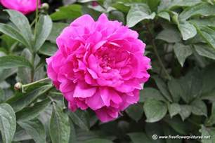 peony flower picture flower pictures 998