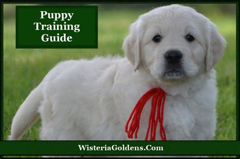 golden retriever puppy feeding guide puppy guide
