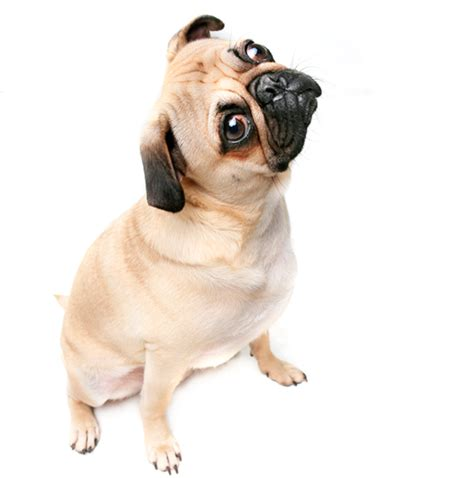 pugs not hugs give hugs not pugs on s day pet trade news events from pet business world uk