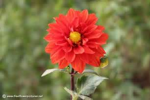 flower pictures dahlia picture flower pictures 3782