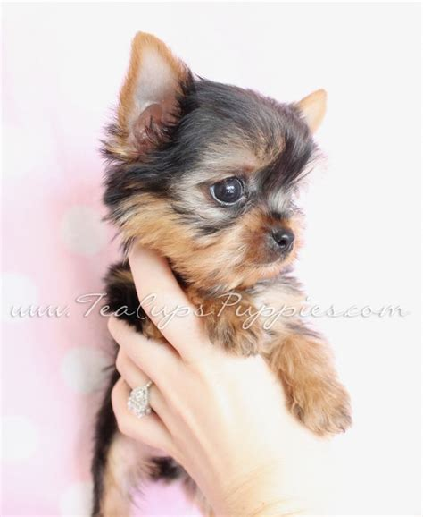 yorkie poo nashville tn best 10 yorkie poo for sale ideas on terrier for sale teacup