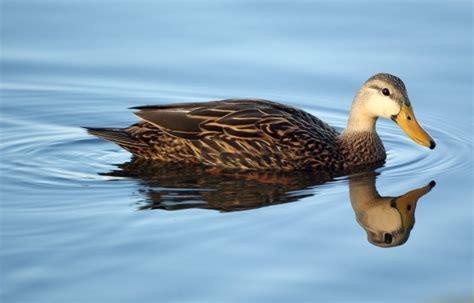 duck the biggest animals kingdom
