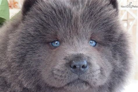 chow puppies for sale chow chow puppies for sale dubai animals pets breeds picture