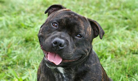 staffordshire dogs staffordshire bull terrier breed information