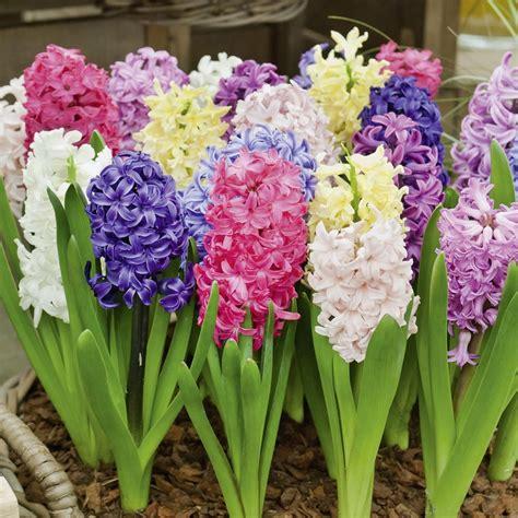 fiore giacinto giacinti