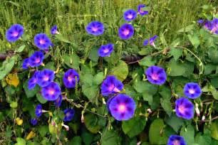 Good Trellis Plants Morning Glory Flower Meaning Flower Meaning