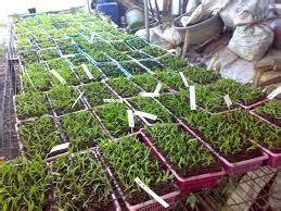 menanam bibit anggrek muda tanaman bunga hias
