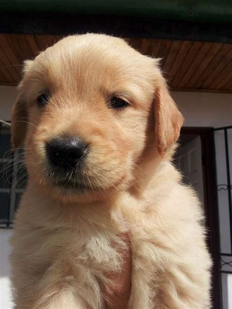 golden retriever precio golden retriever compra y venta golden retriever asturias cachorros golden retriever