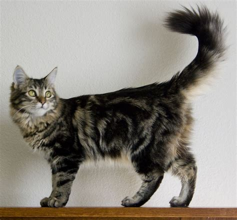 tabby cat wikipedia file tabby main coon cat jpg wikipedia