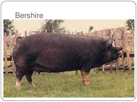 common breeds common pig breeds