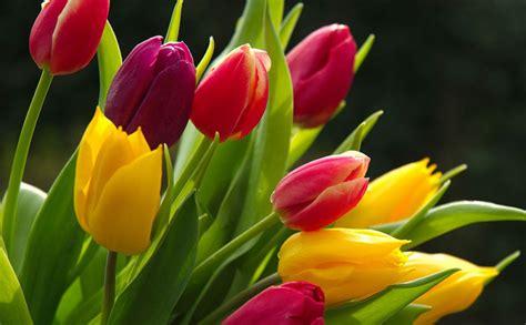 darrel koehler the prairie gardener all about tulips
