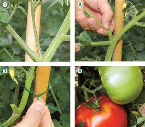 come coltivare i pomodori in vaso coltivare pomodori coltivazione pomodori come coltivare