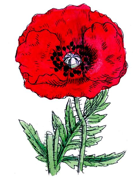 clip art vintage botanical clip art poppies the graphics fairy