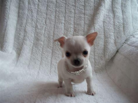 tiny chihuahua puppies teacup tiny chihuahua white puppy boy peterborough cambridgeshire pets4homes