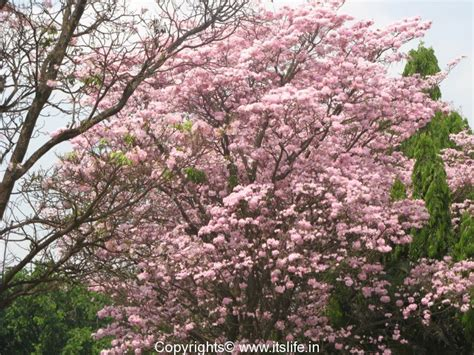 Tabebuia Rosea photos itslife photos tabebuia rosea
